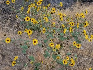 Stunning Wildflowers from Spring to Fall at Maryhill Museum of Art 2