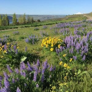 Stunning Wildflowers from Spring to Fall at Maryhill Museum of Art 1